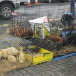 Poultry For Sale! Friday Bantry Market
